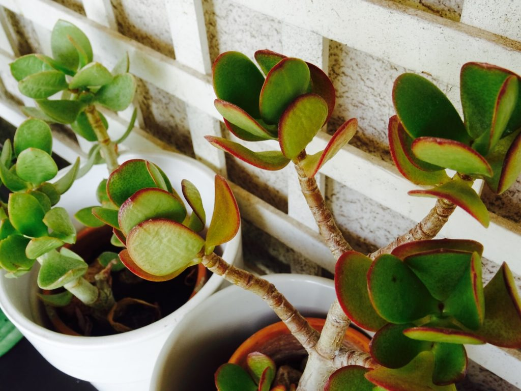 Conseils pour entretenir ses succulentes